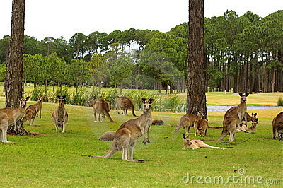 Kangaroos on a golf course