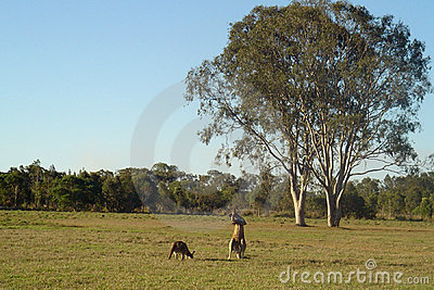 Kangaroos and Gumtrees