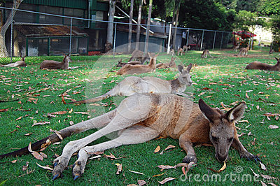 Kangaroos lying on grass
