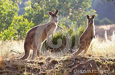 Kangaroos in the morning
