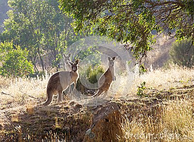 Kangaroos in the morning