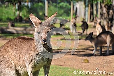 Kangaroos in a reserve