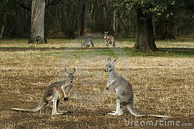 Kangaroos on their feet