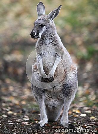 Kangourou en nature