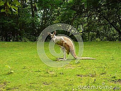 Kangourou (rufus de Macropus)