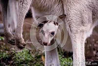 Kangur dziecka