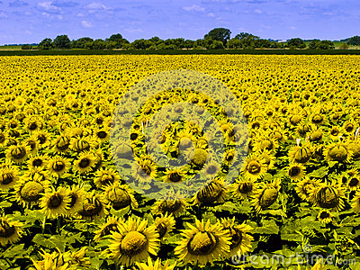Kansas Farm Field With Dense Crop of Bright Yellow Sunflowers