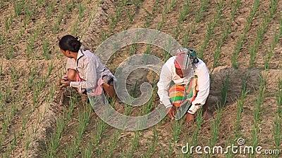 Peasants on a field in Kantanagar near Dinajpur, Bangladesh. KANTANAGAR, BANGLADESH - NOVEMBER 8, 2016: Peasants on a field in Kantanagar near Dinajpur stock video footage
