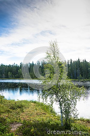 Free Karelian Birch On The Shore Of The Lake. Stock Images - 99456854