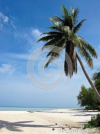 Karibische Palme mit Kokosnüssen