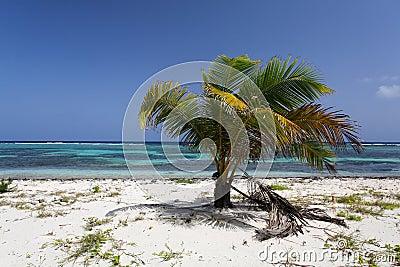 Karibisk palmträd med kokosnötter