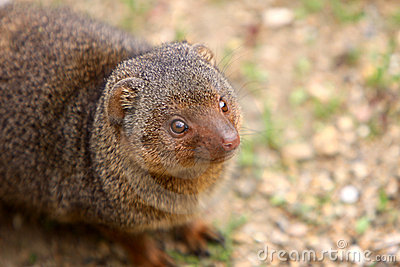 Karłowata mangusta