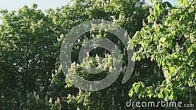 Kastanj. Träd blommar vackert och vindar bladen stock video