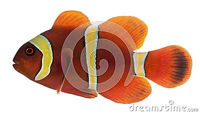Kastanjebruine clownfish, biaculeatus Premnas