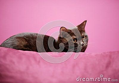 Kat die op het hoofdkussen legt