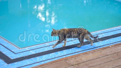Kat loopt bij het zwembad stock video