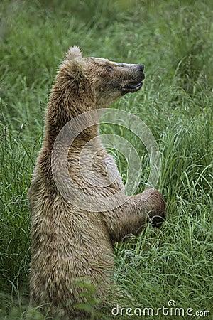 Free Katmai Brown Bears; Brooks Falls; Alaska; USA Stock Images - 84843234