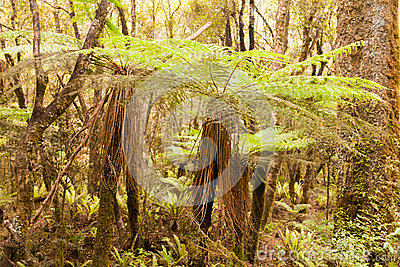 Katote Fern Tree in NZ sub-tropical rainforest