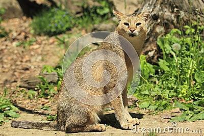 Kattdjungel