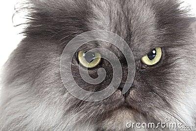 Kattgrey