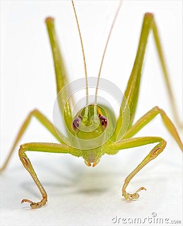 Katydid frontal