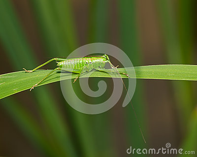Katydid on a leaf