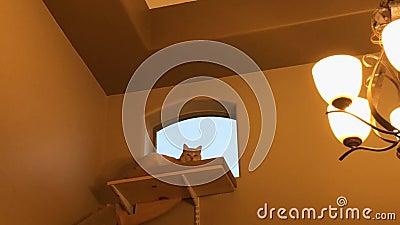 Katze auf einer Halse 9893 stock video