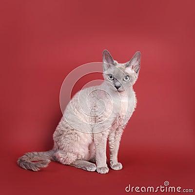 Katze Devon-Rex
