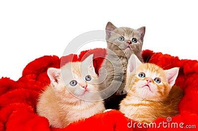 Katze drei im Samt