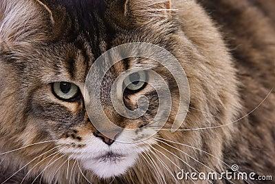 Katzeportrait, Hauptwaschbär