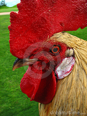 Kauai rooster head close up