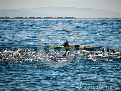 Kayaking with seals Editorial Stock Photo