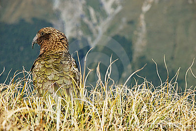 Kea Royalty Free Stock Photography - Image: 14873757