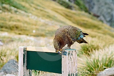 Kea alpine parrot, New Zealand