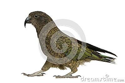 Kea, Nestor notabilis, a parrot, standing
