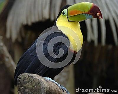 Keel billed toucan 1