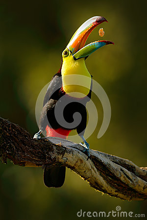 Free Keel-billed Toucan, Ramphastos Sulfuratus, Bird With Big Bill. Toucan Sitting On The Branch In Forest With Fruit In Beak, Boca Tap Royalty Free Stock Image - 84781426