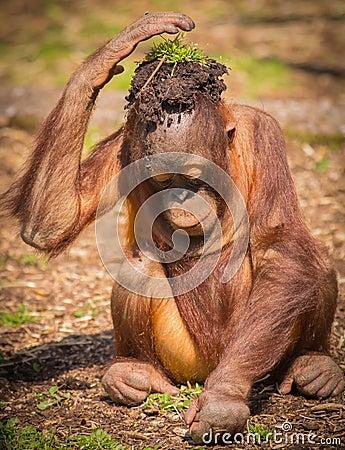 Free Keep Cool Orangutan Stock Photo - 47408510