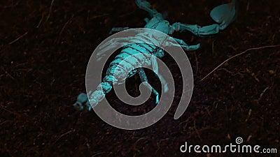 Kejsareskorpion i Blacklight lager videofilmer
