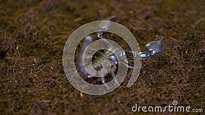 Kejsareskorpion på komposttäckning i labb stock video