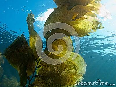 Kelp Against Sunlight