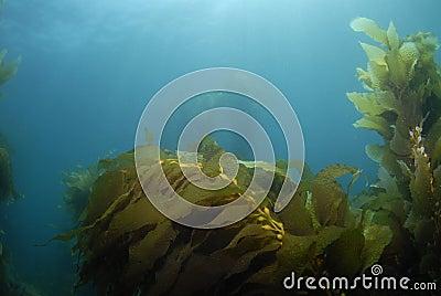 Kelp Background 3