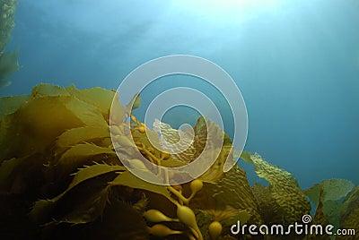 Kelp Background