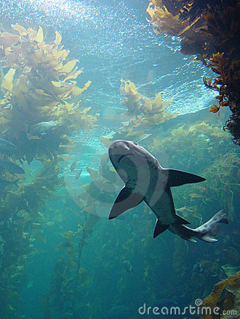 Shark in kelp bed aquarium
