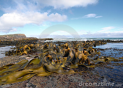 Kelp covered coast, rocks, sea