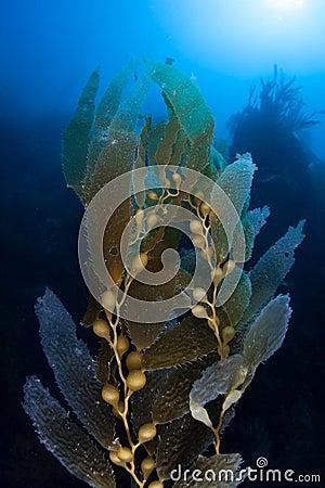 Free Kelp Growing Royalty Free Stock Photo - 46249715