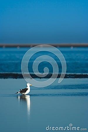 Free Kelp Gull Royalty Free Stock Photo - 13044025