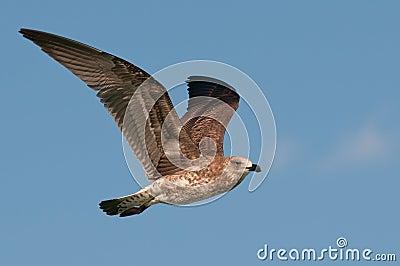 Kelp gull juvenile