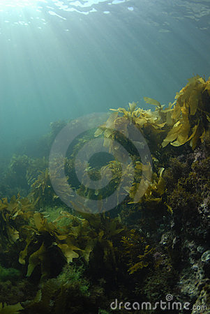 Kelp Rays Background