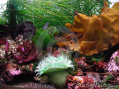 Kelp Variety with Anemone